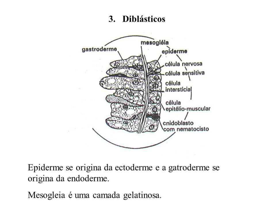 3. Diblásticos Epiderme se origina da ectoderme e a gatroderme se origina da endoderme.