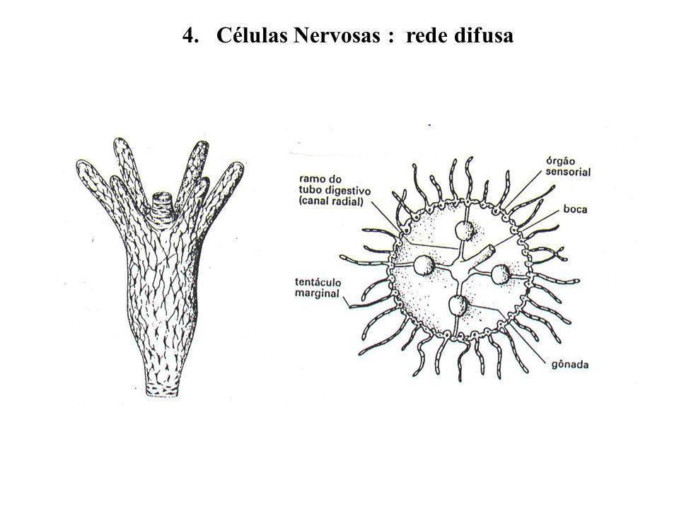 4. Células Nervosas : rede difusa