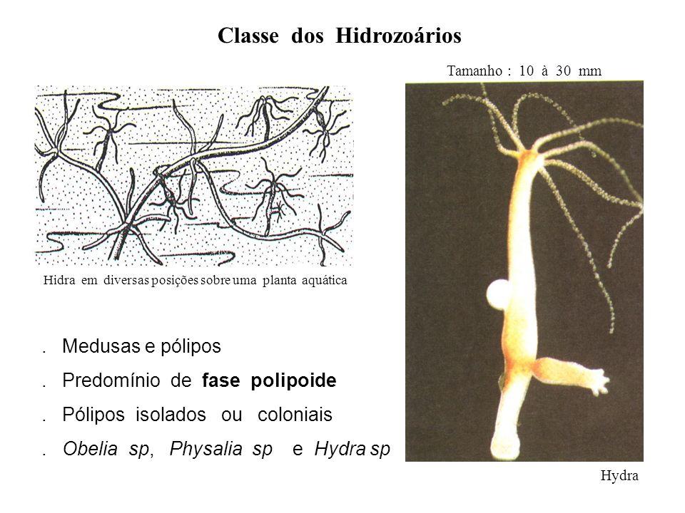 Classe dos Hidrozoários