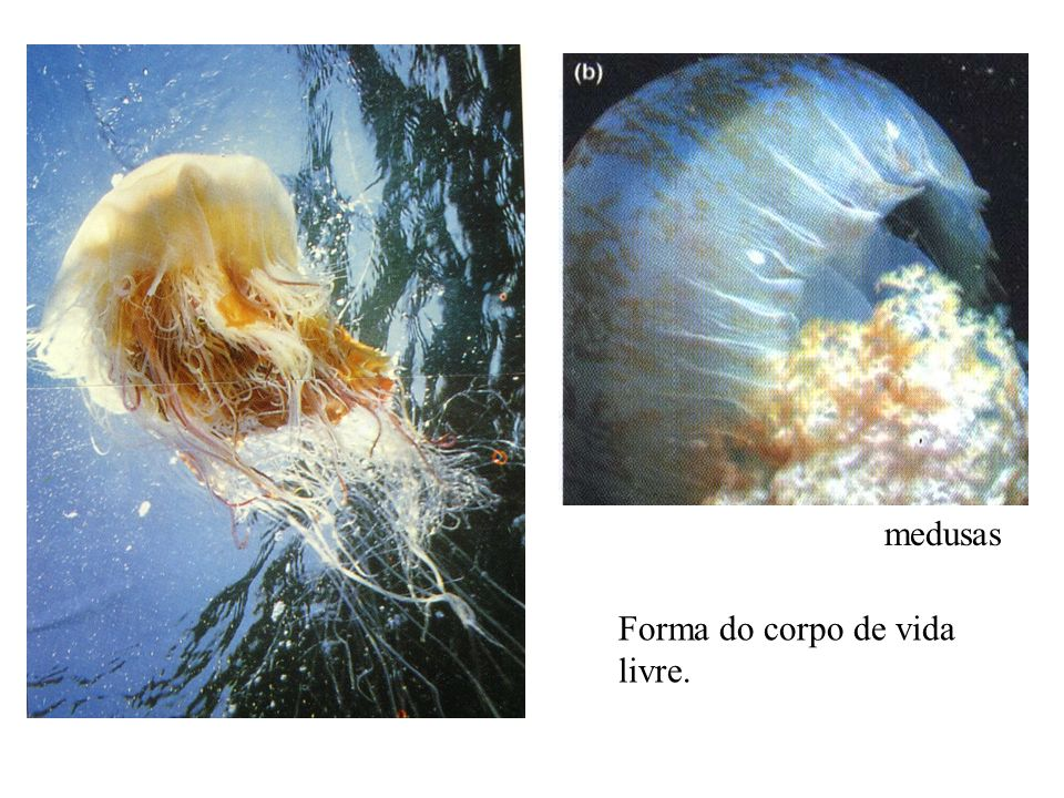 medusas Forma do corpo de vida livre.