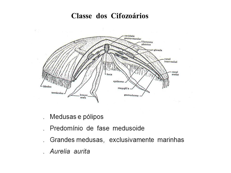 Classe dos Cifozoários
