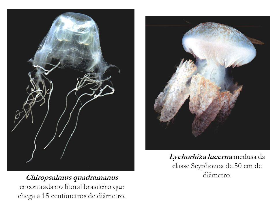 Lychorhiza lucerna medusa da classe Scyphozoa de 50 cm de diâmetro.