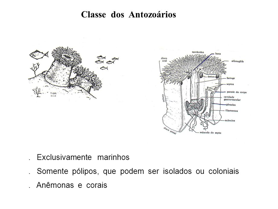 Classe dos Antozoários