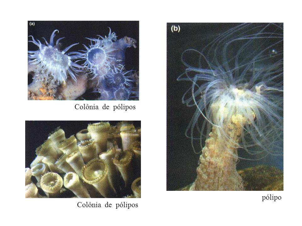Colônia de pólipos pólipo Colônia de pólipos