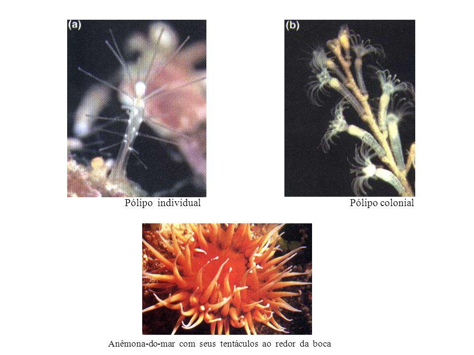 Anêmona-do-mar com seus tentáculos ao redor da boca