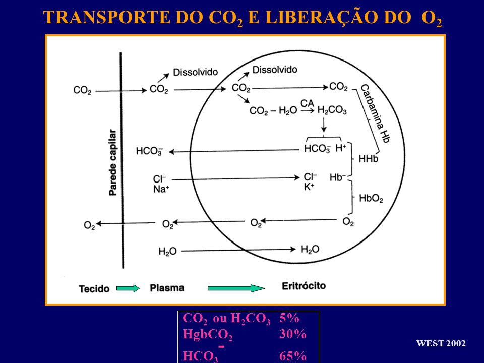 TRANSPORTE DO CO2 E LIBERAÇÃO DO O2