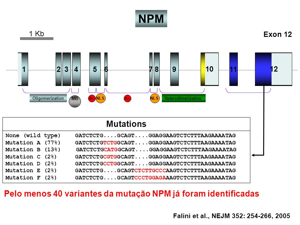 NPM1 Kb. Exon 12. 1. 2. 3. 4. 5. 6. 7. 8. 9. 11. 10. 12. Oligomerization. MB. Ac. NLS. Ac. NLS. Heterodimerization.