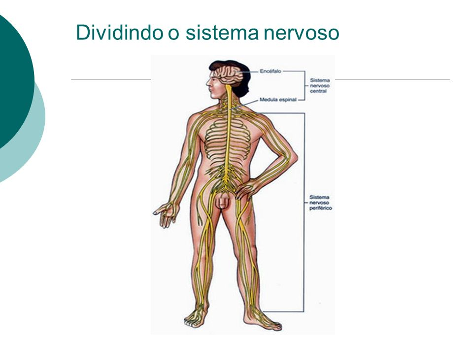 Dividindo o sistema nervoso