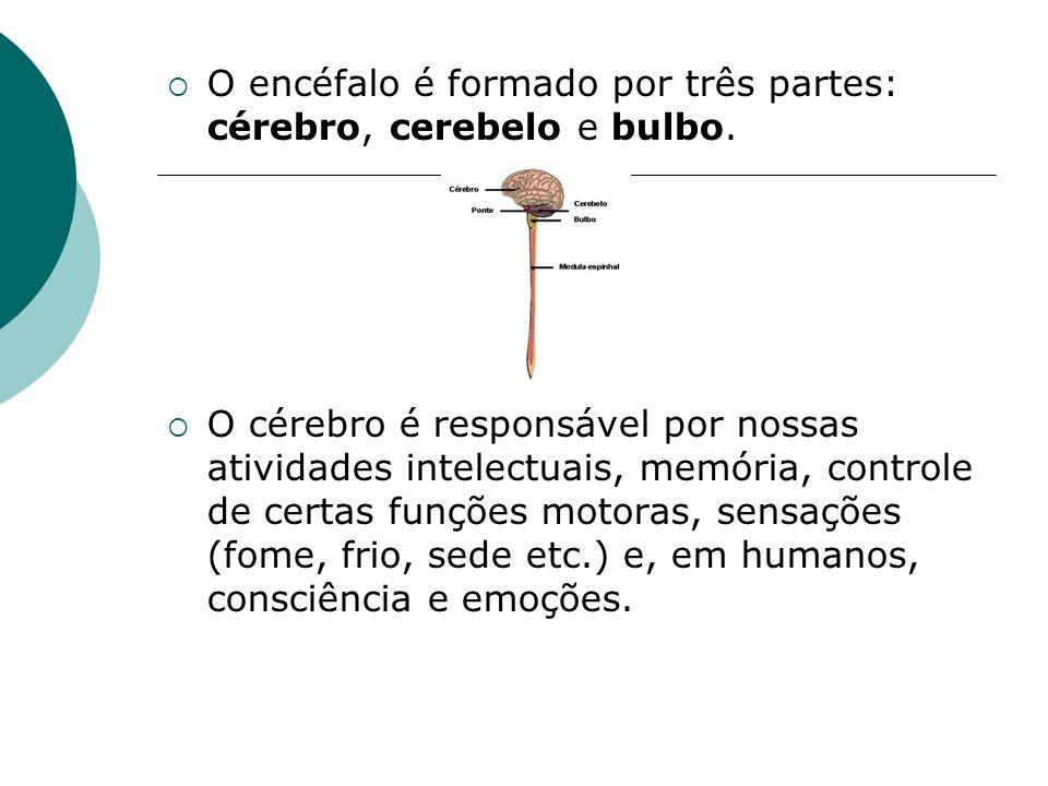 O encéfalo é formado por três partes: cérebro, cerebelo e bulbo.