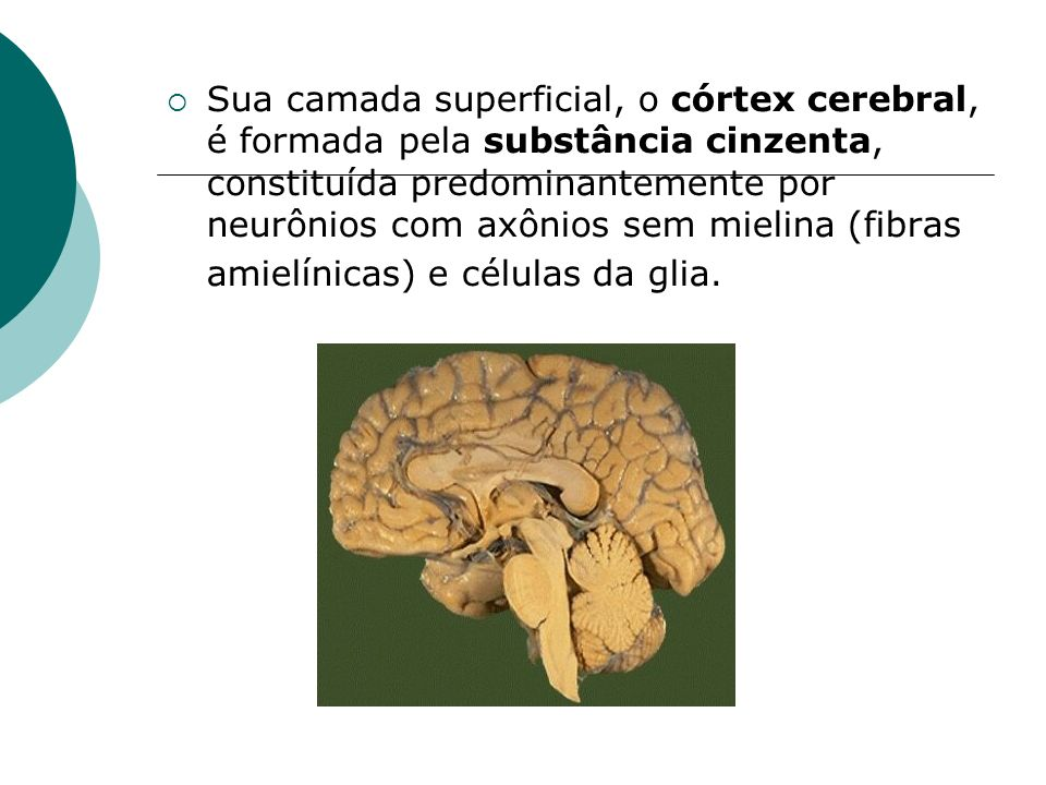 Sua camada superficial, o córtex cerebral, é formada pela substância cinzenta, constituída predominantemente por neurônios com axônios sem mielina (fibras amielínicas) e células da glia.
