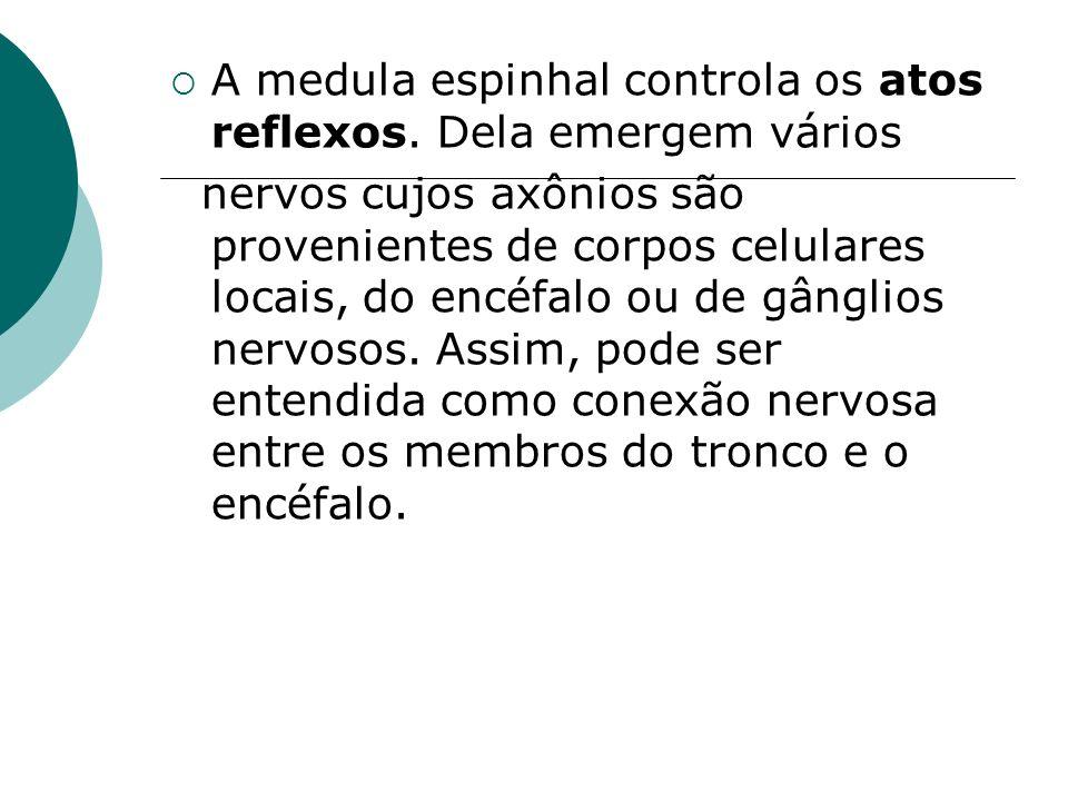 A medula espinhal controla os atos reflexos. Dela emergem vários