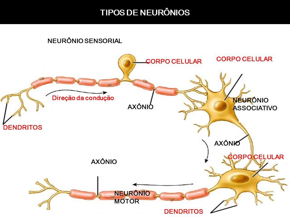 TIPOS DE NEURÔNIOS NEURÔNIO SENSORIAL CORPO CELULAR CORPO CELULAR