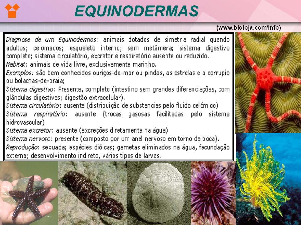 EQUINODERMAS (www.bioloja.com/info)