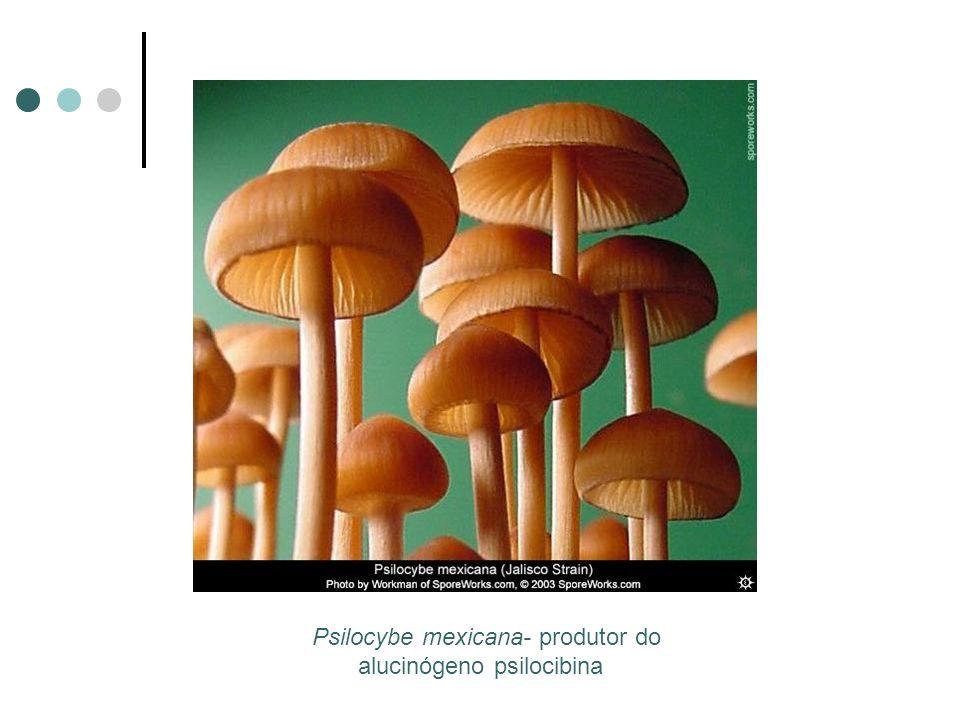 Psilocybe mexicana- produtor do alucinógeno psilocibina