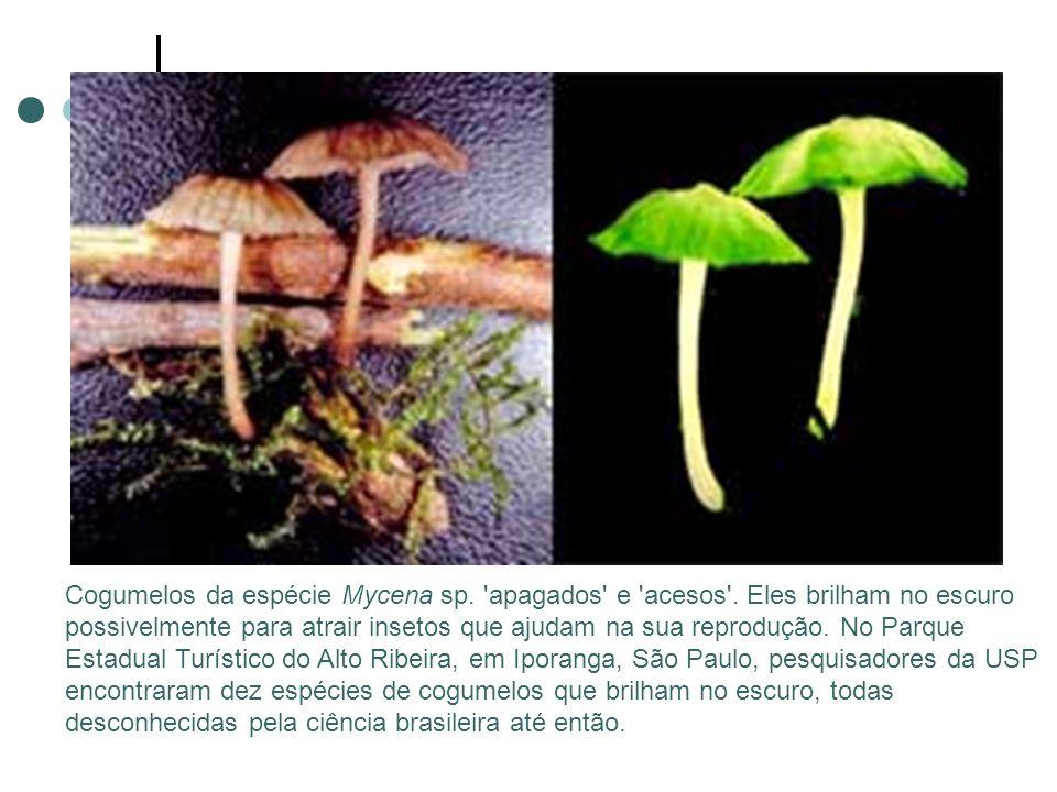 Cogumelos da espécie Mycena sp. apagados e acesos