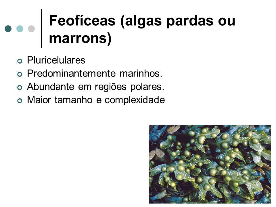 Feofíceas (algas pardas ou marrons)