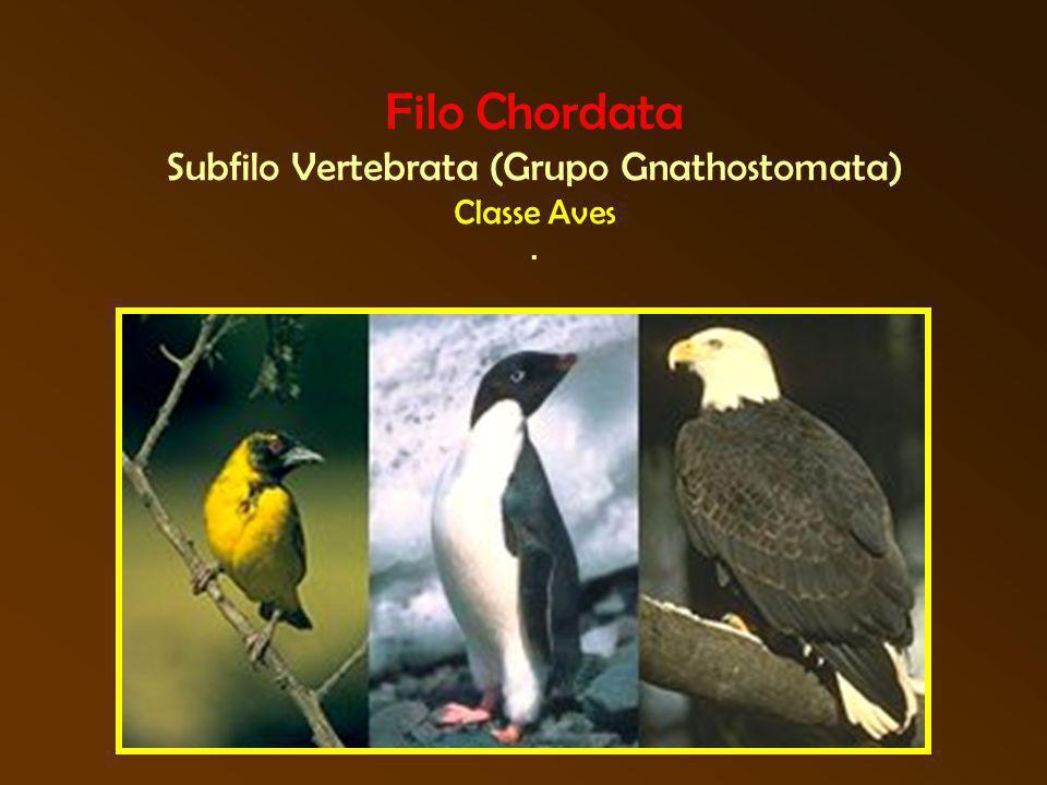 Filo Chordata Subfilo Vertebrata (Grupo Gnathostomata) Classe Aves .