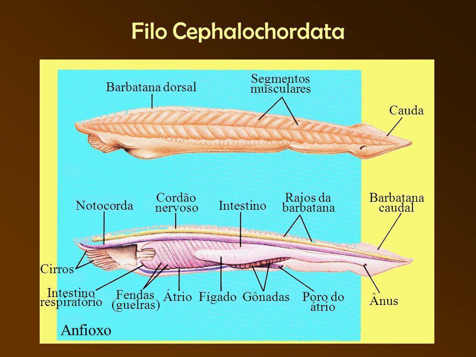 Filo Cephalochordata Anfioxo Segmentos musculares Barbatana dorsal