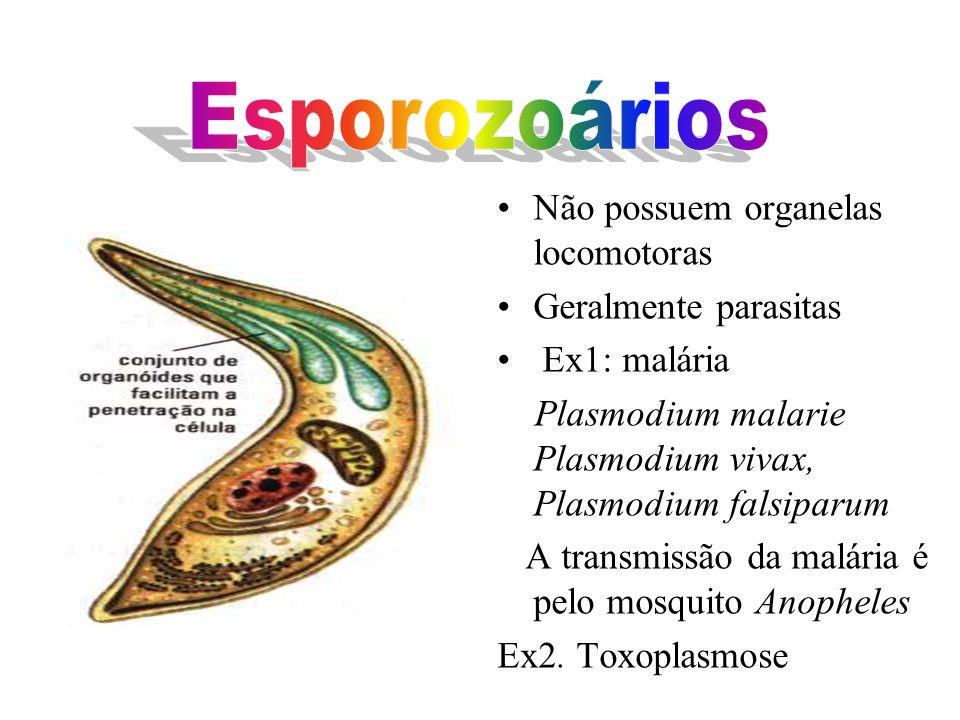 Esporozoários Não possuem organelas locomotoras Geralmente parasitas