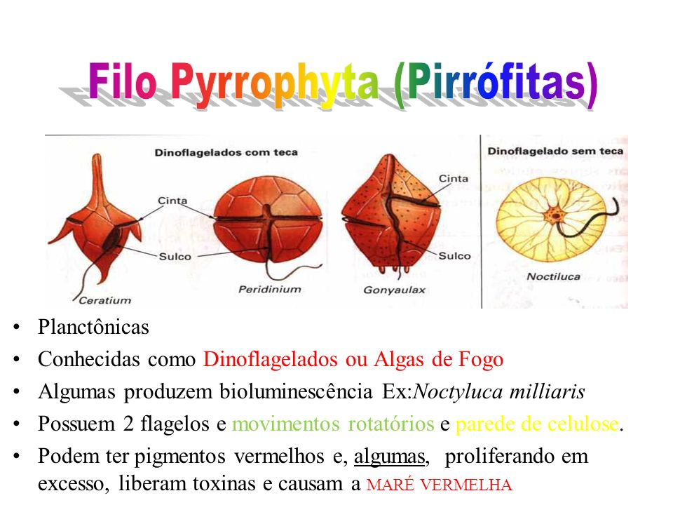 Filo Pyrrophyta (Pirrófitas)