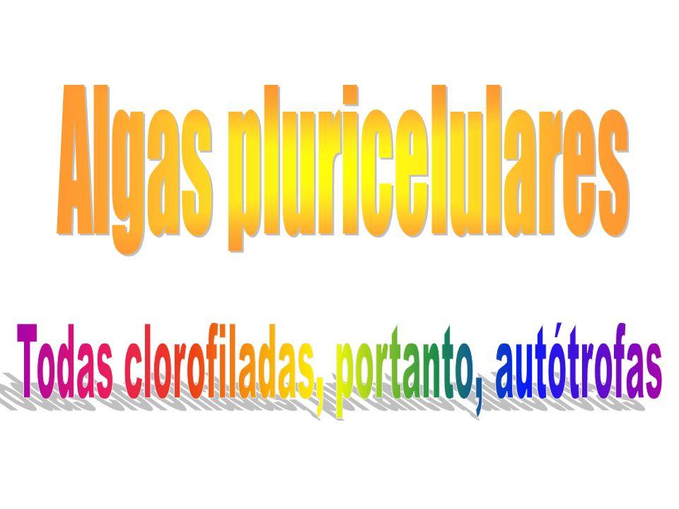 Todas clorofiladas, portanto, autótrofas