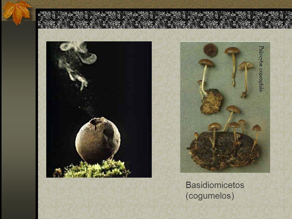 Basidiomicetos (cogumelos)