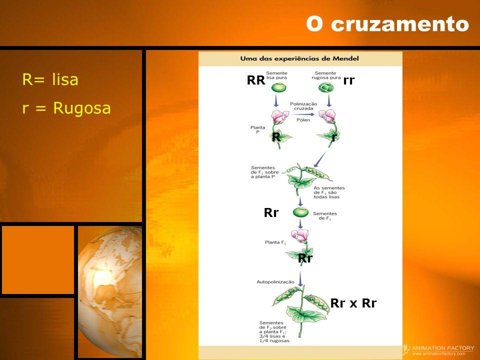 O cruzamento R= lisa r = Rugosa RR rr R r Rr Rr Rr x Rr