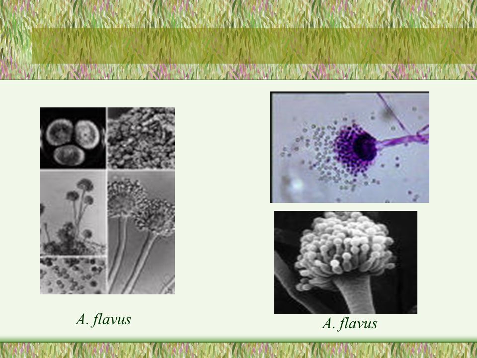 A. flavus A. flavus