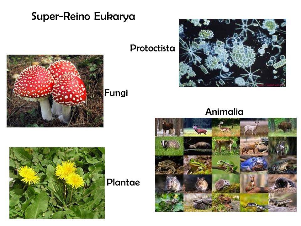 Super-Reino Eukarya Protoctista Fungi Animalia Plantae