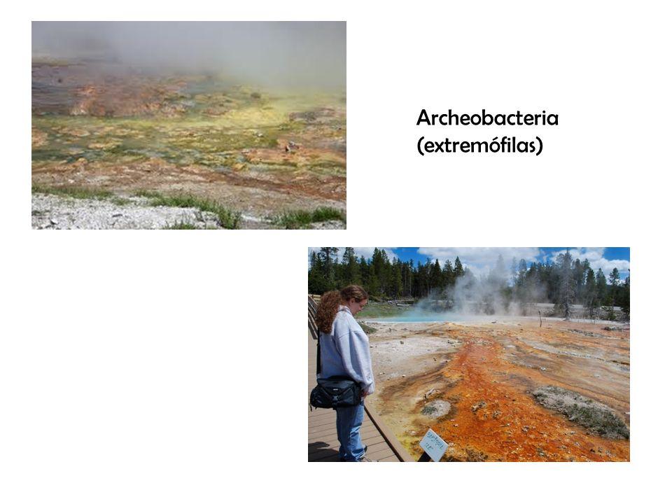 Archeobacteria (extremófilas)