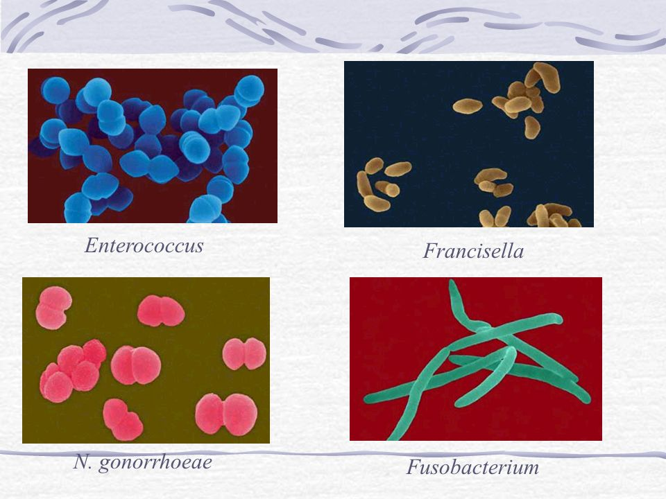 Enterococcus Francisella N. gonorrhoeae Fusobacterium