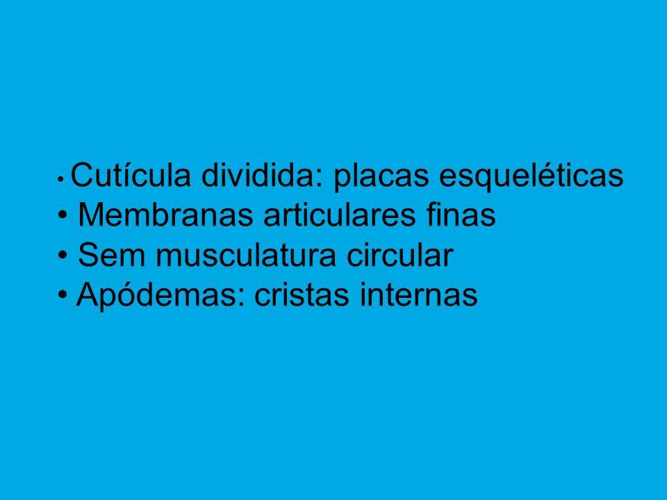 Membranas articulares finas Sem musculatura circular
