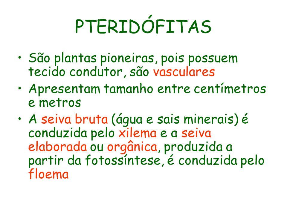 PTERIDÓFITAS São plantas pioneiras, pois possuem tecido condutor, são vasculares. Apresentam tamanho entre centímetros e metros.