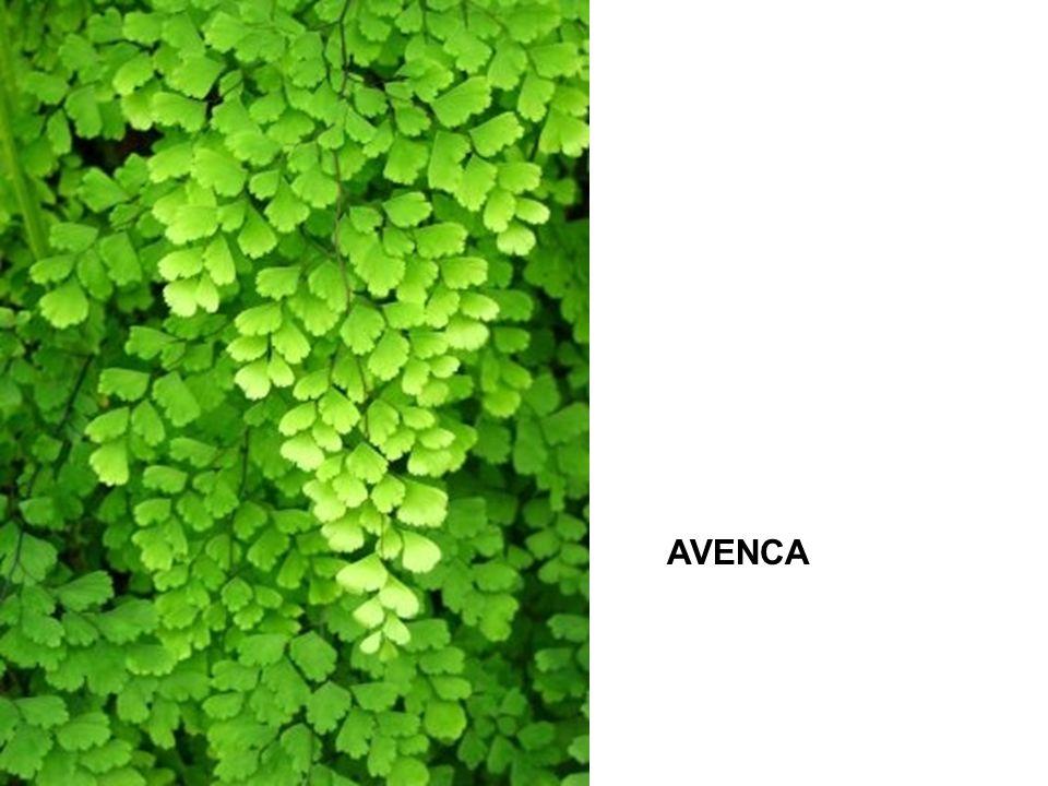 AVENCA