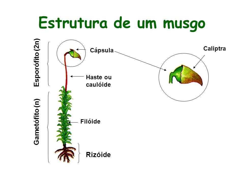 Estrutura de um musgo Esporófito (2n) Gametófito (n) Rizóide Caliptra
