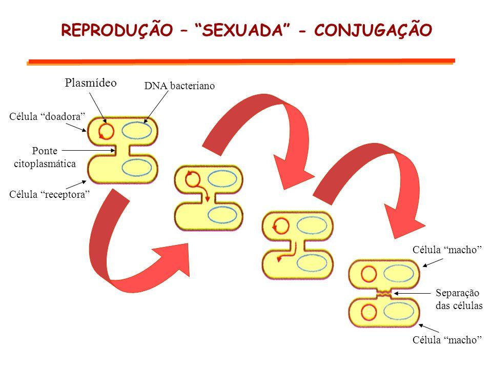 REPRODUÇÃO – SEXUADA - CONJUGAÇÃO