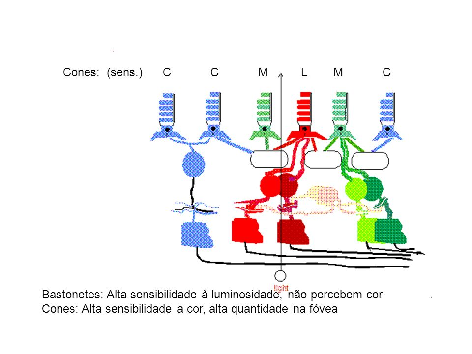 Cones: (sens.) C C M L M CBastonetes: Alta sensibilidade à luminosidade, não percebem cor.