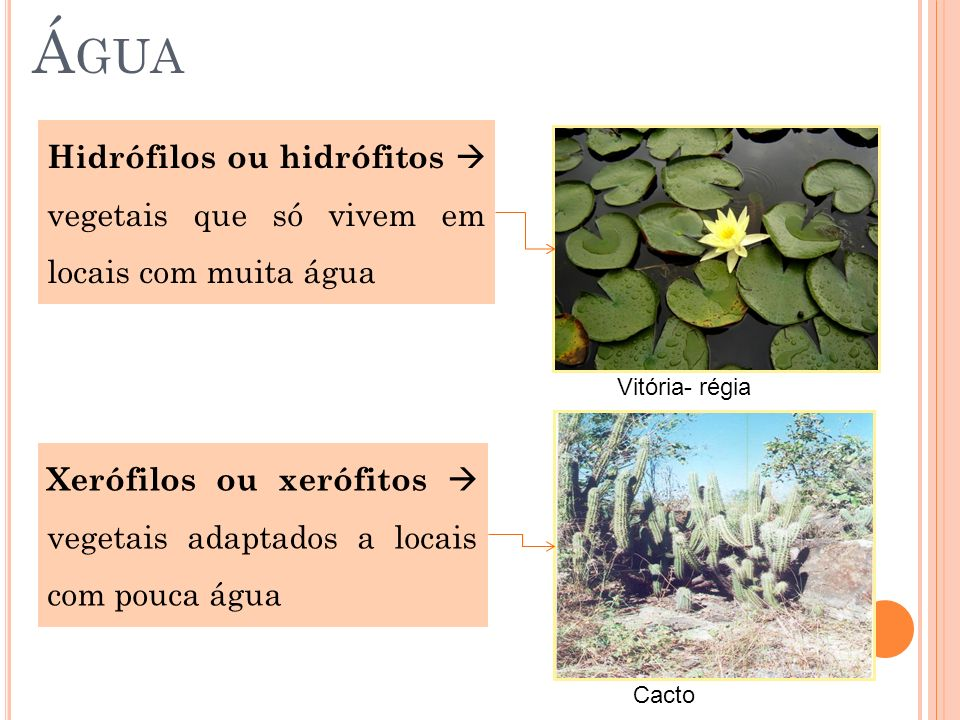 ÁguaHidrófilos ou hidrófitos  vegetais que só vivem em locais com muita água. Vitória- régia.