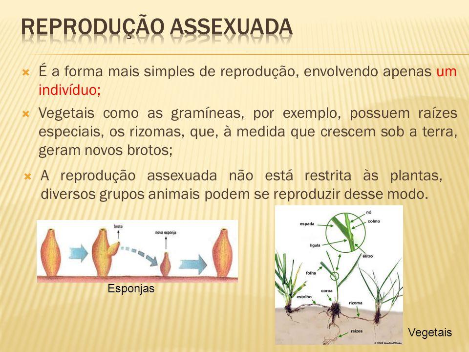 Reprodução assexuada É a forma mais simples de reprodução, envolvendo apenas um indivíduo;