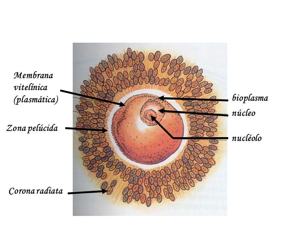 Membrana vitelínica (plasmática)