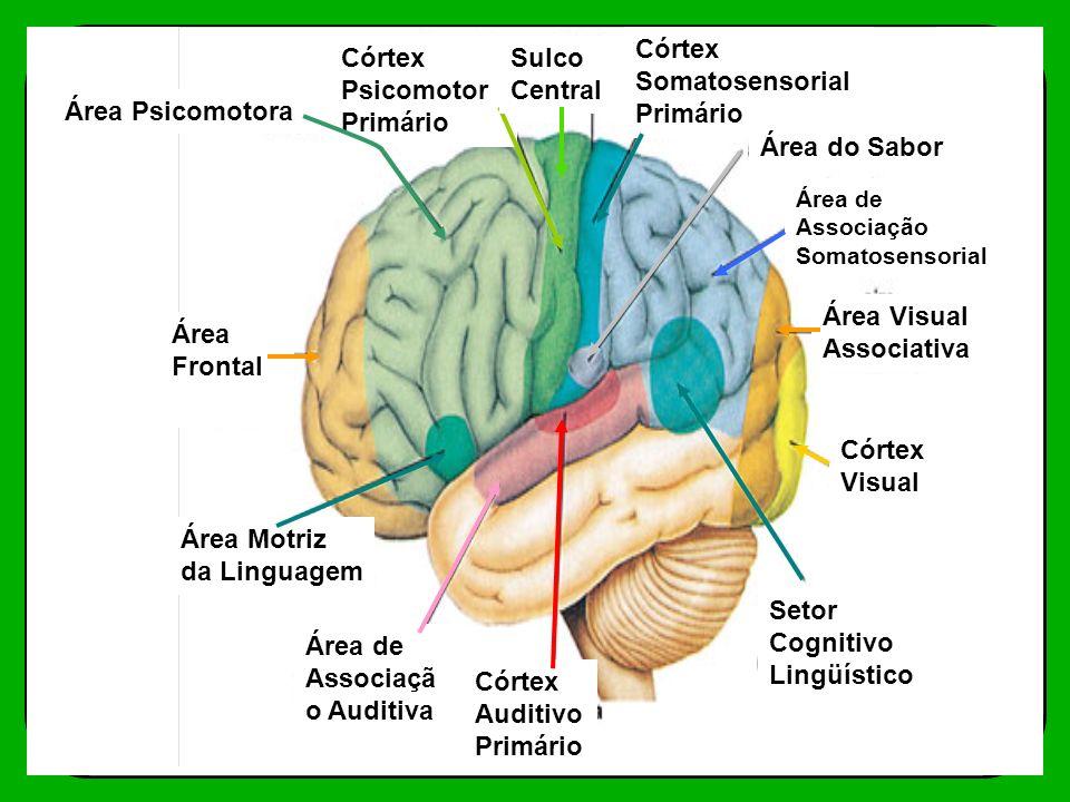 Córtex Somatosensorial Primário Córtex Psicomotor Primário