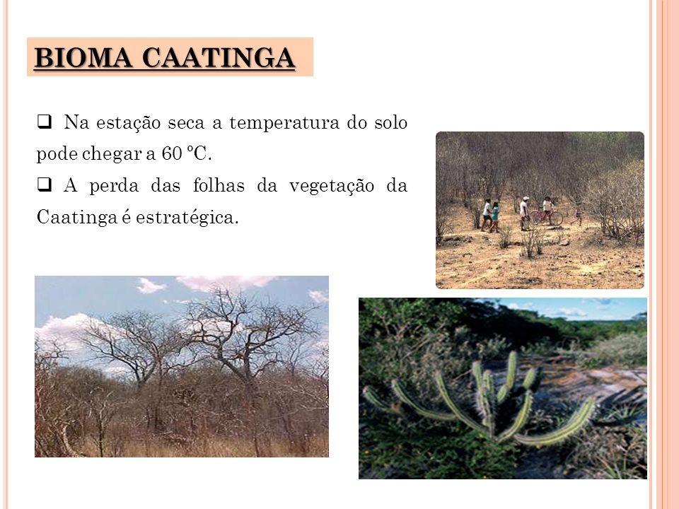 BIOMA CAATINGA Na estação seca a temperatura do solo pode chegar a 60 ºC.