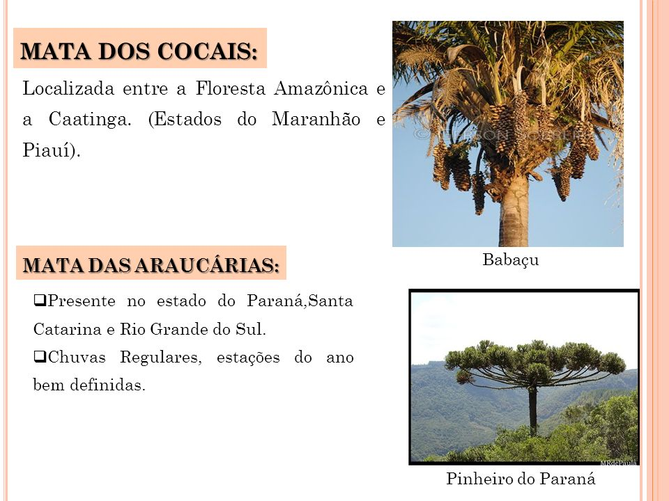 MATA DOS COCAIS:Localizada entre a Floresta Amazônica e a Caatinga. (Estados do Maranhão e Piauí). MATA DAS ARAUCÁRIAS: