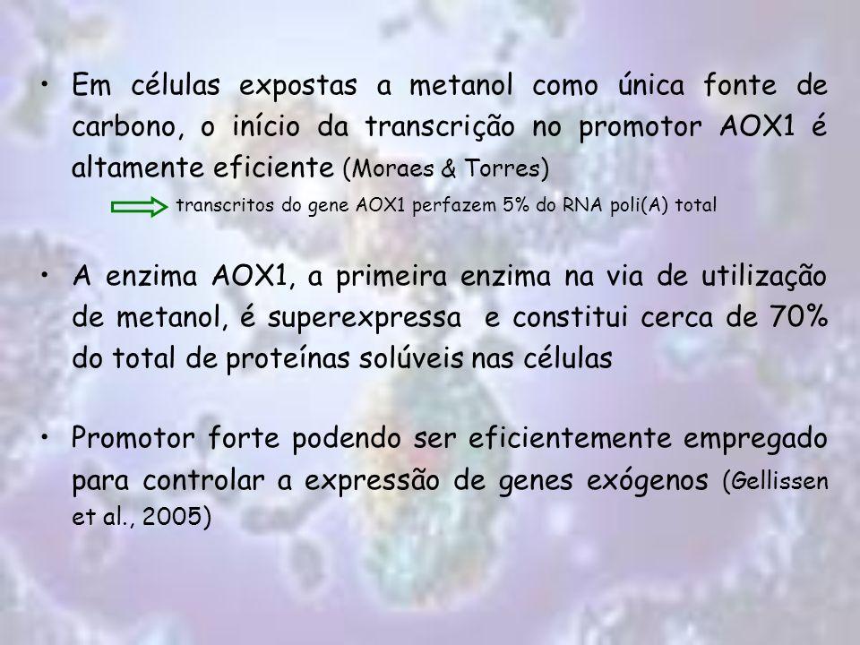 Em células expostas a metanol como única fonte de carbono, o início da transcrição no promotor AOX1 é altamente eficiente (Moraes & Torres)