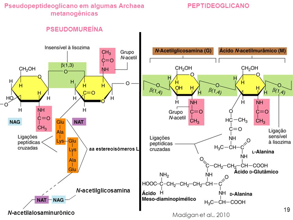 Pseudopeptideoglicano em algumas Archaea