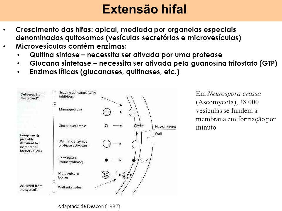 Extensão hifal Crescimento das hifas: apical, mediada por organelas especiais denominadas quitosomos (vesículas secretórias e microvesículas)