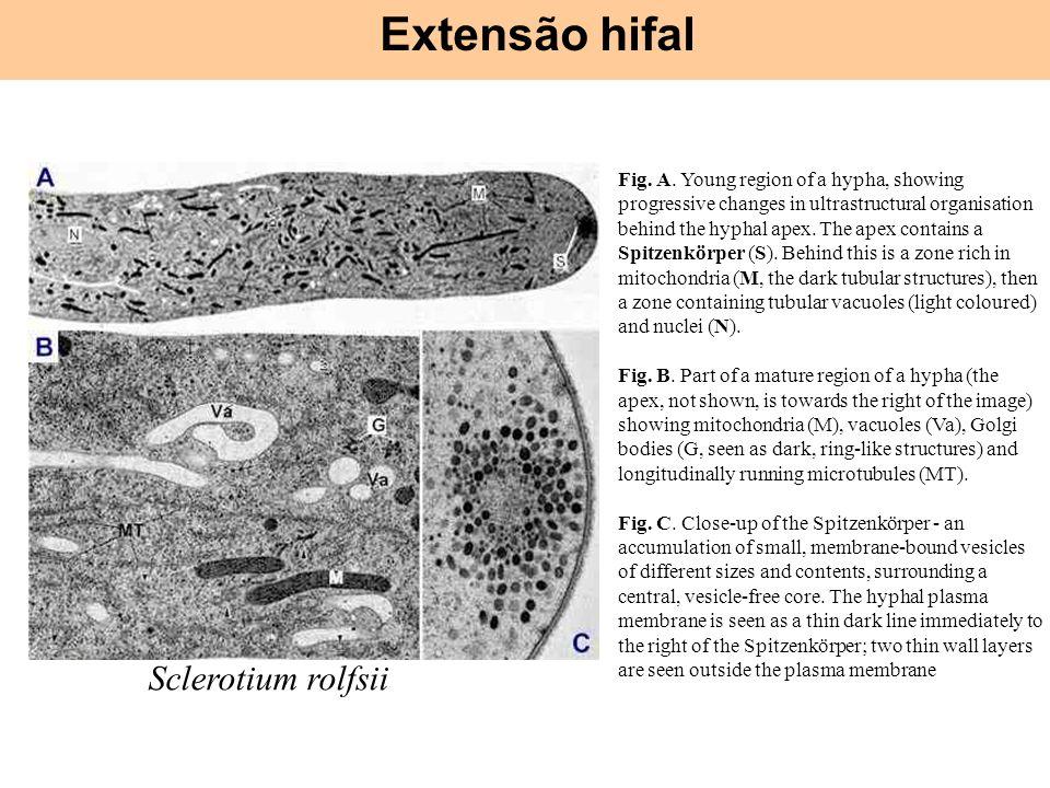 Extensão hifal Sclerotium rolfsii