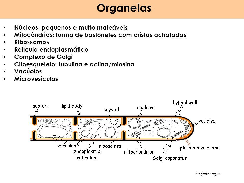 Organelas Núcleos: pequenos e muito maleáveis