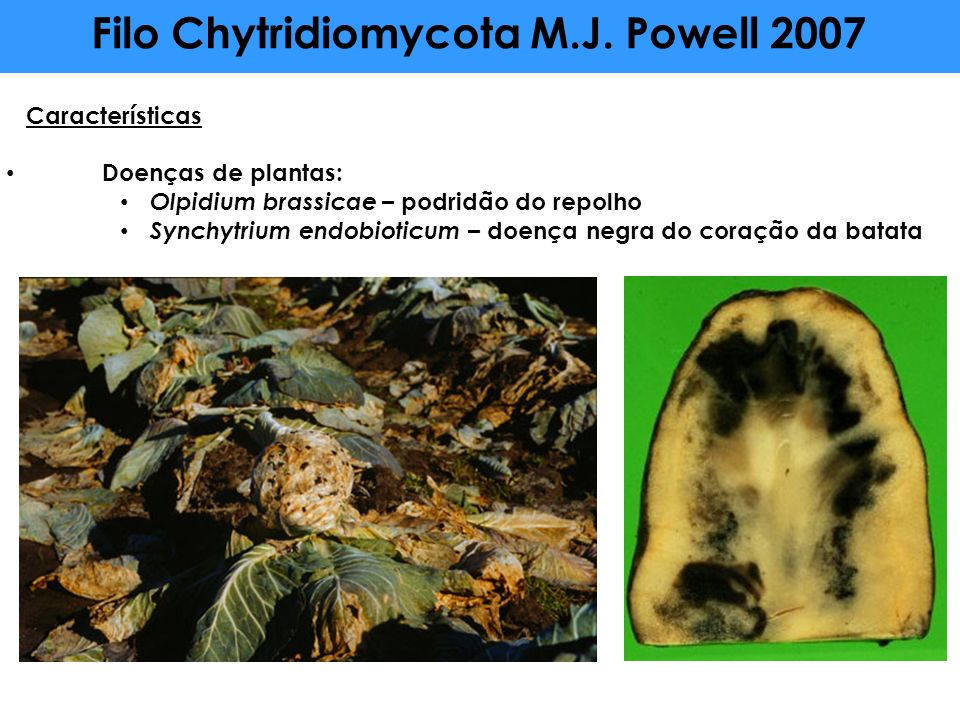 Filo Chytridiomycota M.J. Powell 2007