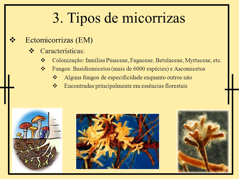 3. Tipos de micorrizas Ectomicorrizas (EM) Características: